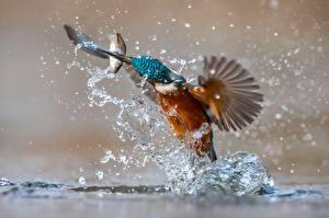 Фото Птицы Обыкновенный зимородок Рыбы Брызги Животные