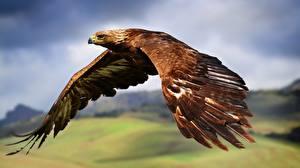 Фотографии Птицы Орлы Полет Крылья животное