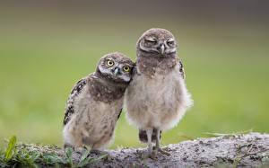 Фотографии Птица Совы Две Милые Burrowing owl животное