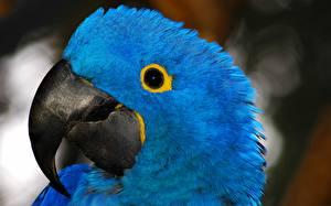 Фотография Птицы Попугаи Ара (род) Клюв Голова Синий Животные