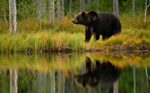 Фотографии Медведи Гризли Отражение Животные