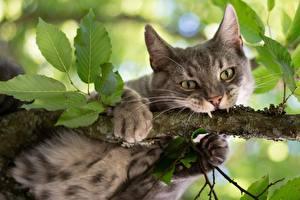 Фото Коты Клыки Ветки Лапы Взгляд Животные