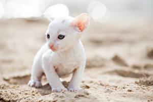 Фото Кот Котенок Белый Cornish Rex Животные