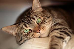 Обои Кошки Взгляд Морда Животные картинки