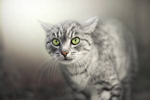 Картинки Коты Смотрит Морда Усы Вибриссы