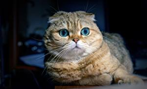 Фотографии Кошка Шотландская вислоухая Взгляд Морда