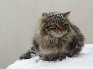 Фотографии Коты Снег Пушистый Животные