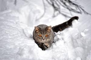 Картинка Коты Снег Серый Животные