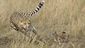 Картинки Гепарды Бежит Охоте Животные