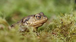Фото Вблизи Лягушки True toad Животные