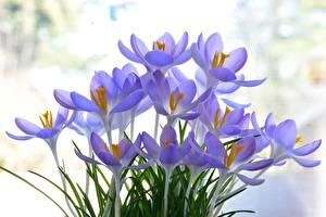 Фотография Крокусы Крупным планом Фиолетовый Цветы