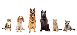 Картинки Собака Коты Еноты Белым фоном Спаниеля Животные