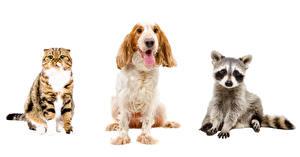 Фото Собаки Кошки Еноты Белый фон Три Спаниеля Животные