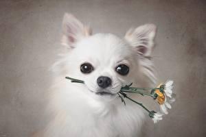 Картинка Собаки Чихуахуа Белая Взгляд Морды животное