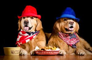 Картинка Собака Золотистый ретривер Черный фон Двое Шляпа животное
