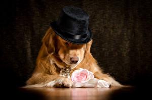 Фотография Собаки Голден Розы Шляпа Животные