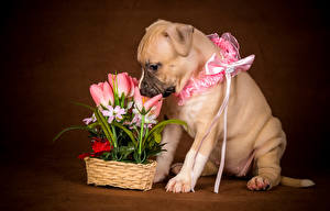 Картинка Собаки Тюльпан Щенок Бант животное