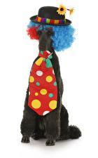 Фото Собаки Белом фоне Пудели Униформа Шляпы Галстуком