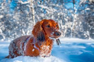 Фото Собаки Зимние Такса Смотрит Снег Животные