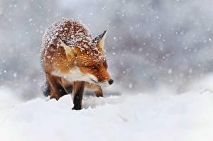 Картинка Лисица Снег Снежинки Животные