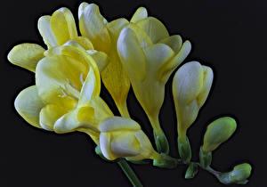 Обои Фрезия Вблизи Черный фон Желтых Цветы