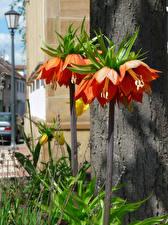 Картинка Рябчик Оранжевый Цветы