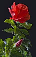 Фото Гибискусы Черный фон Красный Бутон Листва