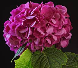 Фотографии Гортензия Крупным планом Черный фон Розовых Цветы