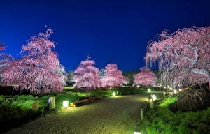 Фотография Япония Токио Парки Цветущие деревья Уличные фонари Природа