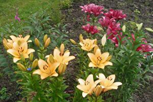 Обои Лилии Бутон Цветы картинки