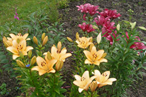 Обои Лилия Бутон Цветы