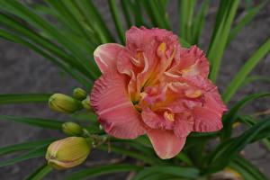 Картинка Лилии Розовых Бутон Цветы