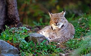 Фотографии Рыси Смотрит животное