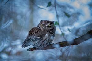 Картинки Совообразные Ветки Flammulated owl