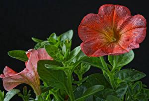 Фотография Петуния Крупным планом На черном фоне Цветы