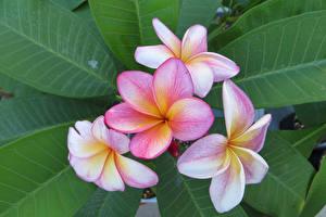 Фотографии Плюмерия Крупным планом Лист цветок