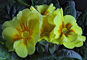 Фотографии Первоцвет Вблизи Желтый Цветы