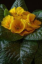 Фотография Примула Крупным планом Желтый Листья Цветы