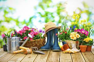 Обои для рабочего стола Примула Нарциссы Маргаритка Доски Сапогах Шляпы цветок