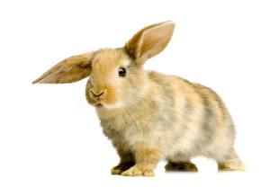Фото Кролики Крупным планом Белым фоном Животные