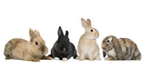 Картинка Кролики Белый фон Животные