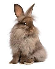 Фотография Кролики Белый фон Сидит Животные