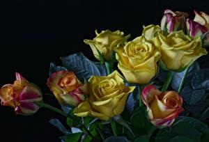 Обои Розы Черный фон Желтый Цветы