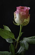 Фотографии Розы Вблизи Черный фон Розовый Цветы