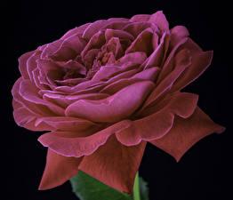 Картинки Розы Крупным планом На черном фоне Розовый Цветы