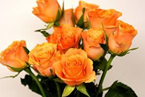 Картинки Розы Вблизи Оранжевый цветок