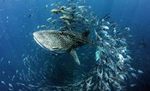 Обои Акулы Рыбы Подводный мир Whale shark Животные картинки