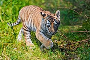 Картинка Тигры Детеныши Лапы Трава Животные
