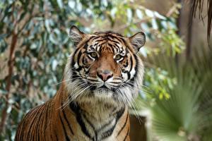 Фото Тигр Смотрят Морда Животные