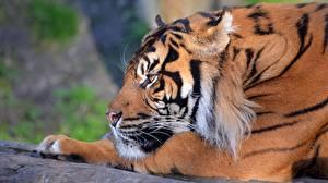 Фотографии Тигр Взгляд Морда Животные